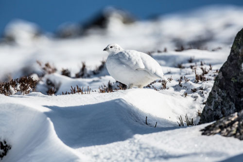 Female Ptarmigan Winter Plumage Two