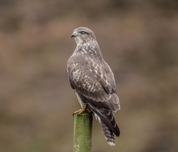 Common Buzzard on Post