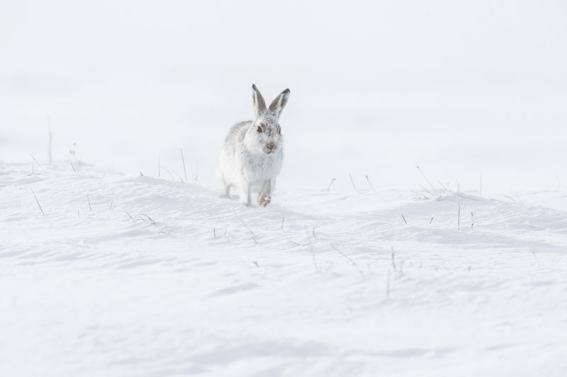 Mountain Hare Four Feb
