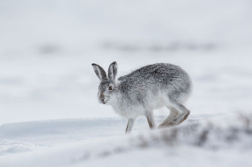 Mountain Hare takes off