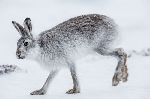 Mountain Hare bounding through the snow