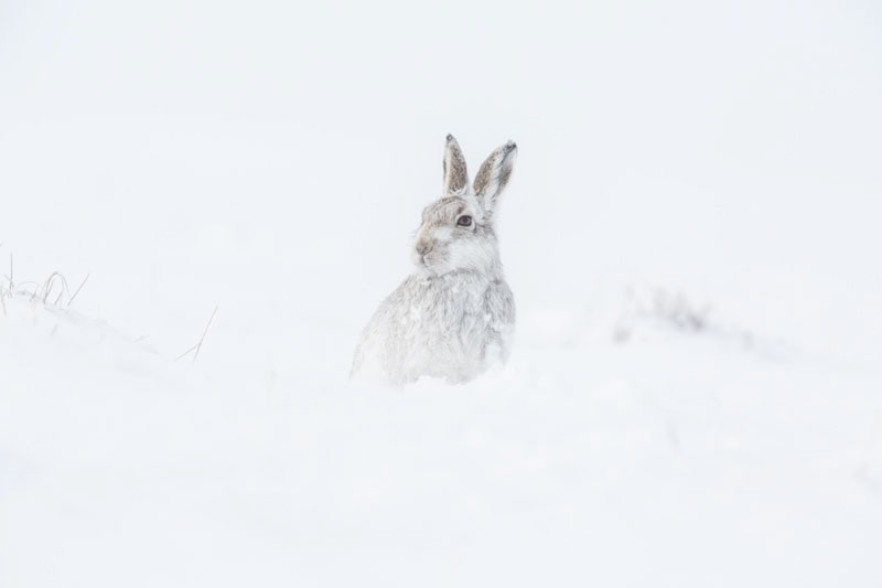 Mountain Hare Two Feb