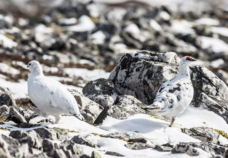 Mr & Mrs Ptarmigan A6 Greetings Card - Landscape