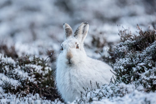 Aloof Mountain Hare