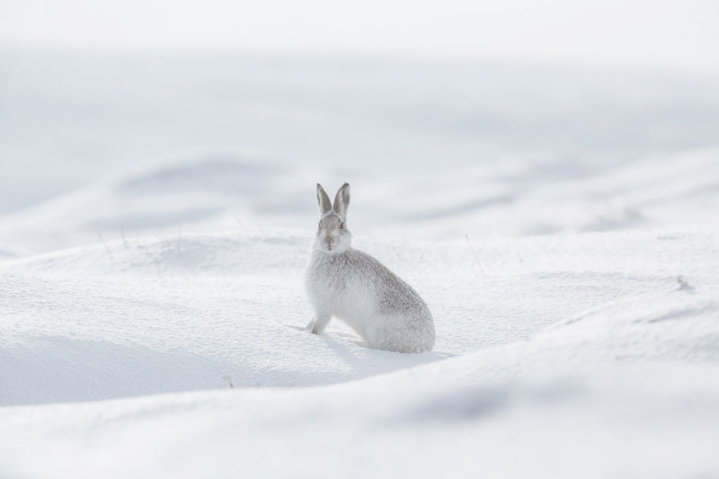 Mountain Hare Five Feb