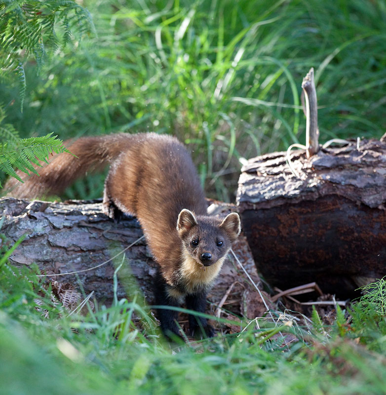 Pine Marten coming off a log