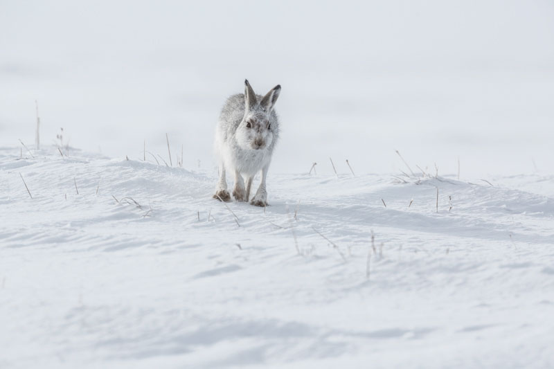 Mountain Hare Three feb