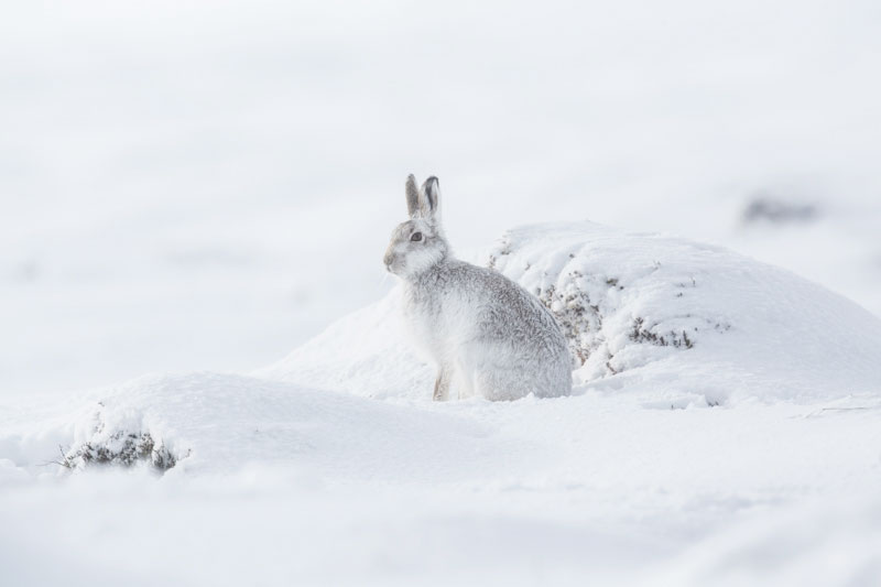 Mountain Hare Six Feb