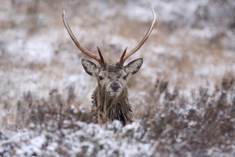 Stag in Sleet