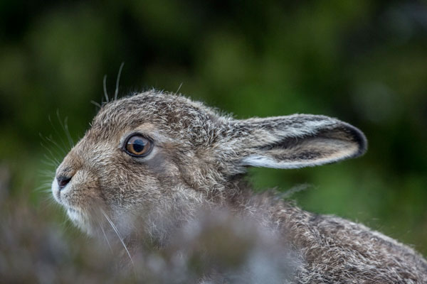 Mountain Hare Leveret Two