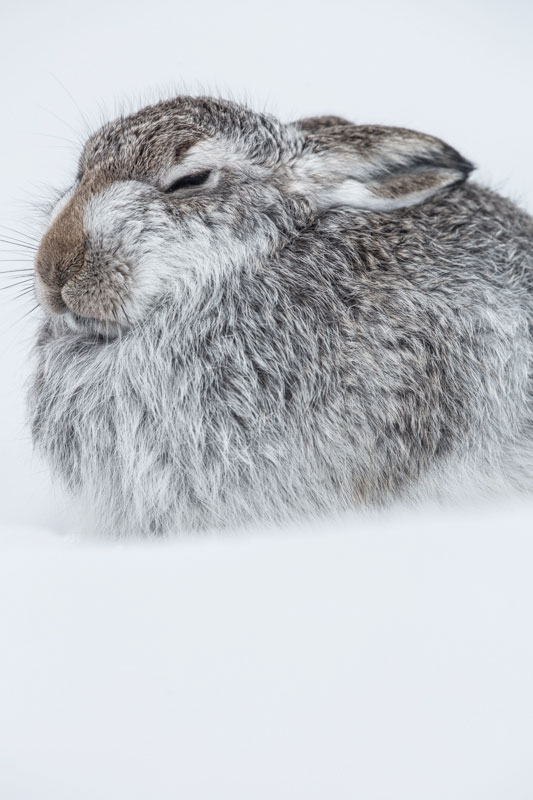 Mountain Hare Feb