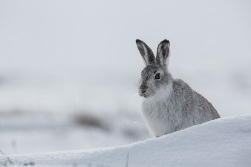 Mountain Hare hiding behind the snow