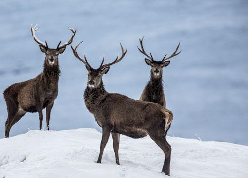 Three Red Stags on a Skyline