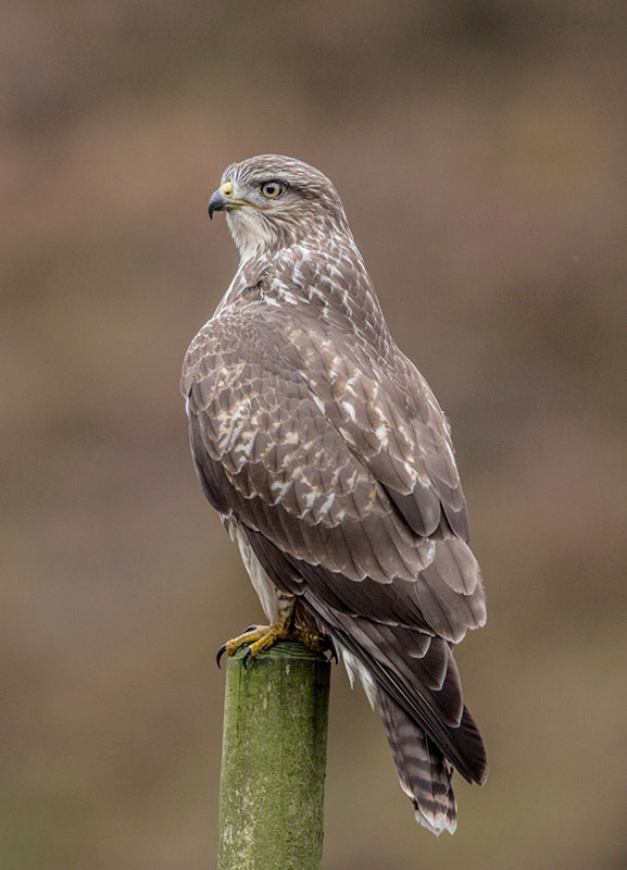 Buzzard A6 Greetings Card - Portrait