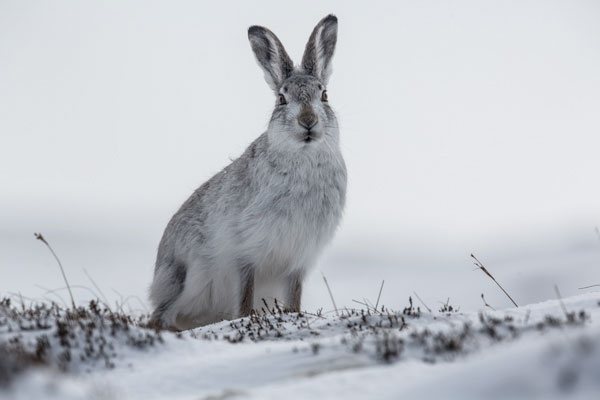 Mountain Hare Posing in the Snow