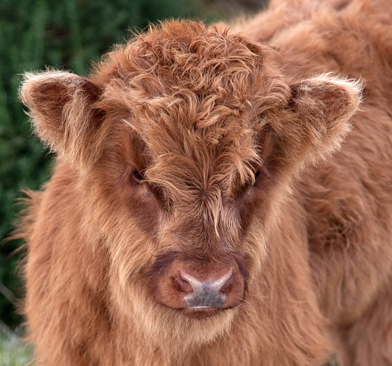 A Sweet Highland Calf