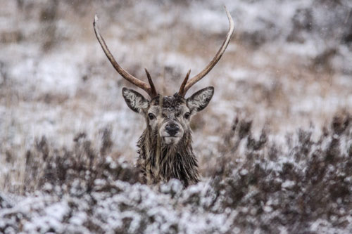 Stag in Sleet - A6 Greetings Card-Portrait