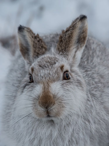 Mountain Hare - Face Portrait