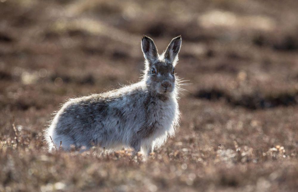 Mountain-Hare-one-large.jpg