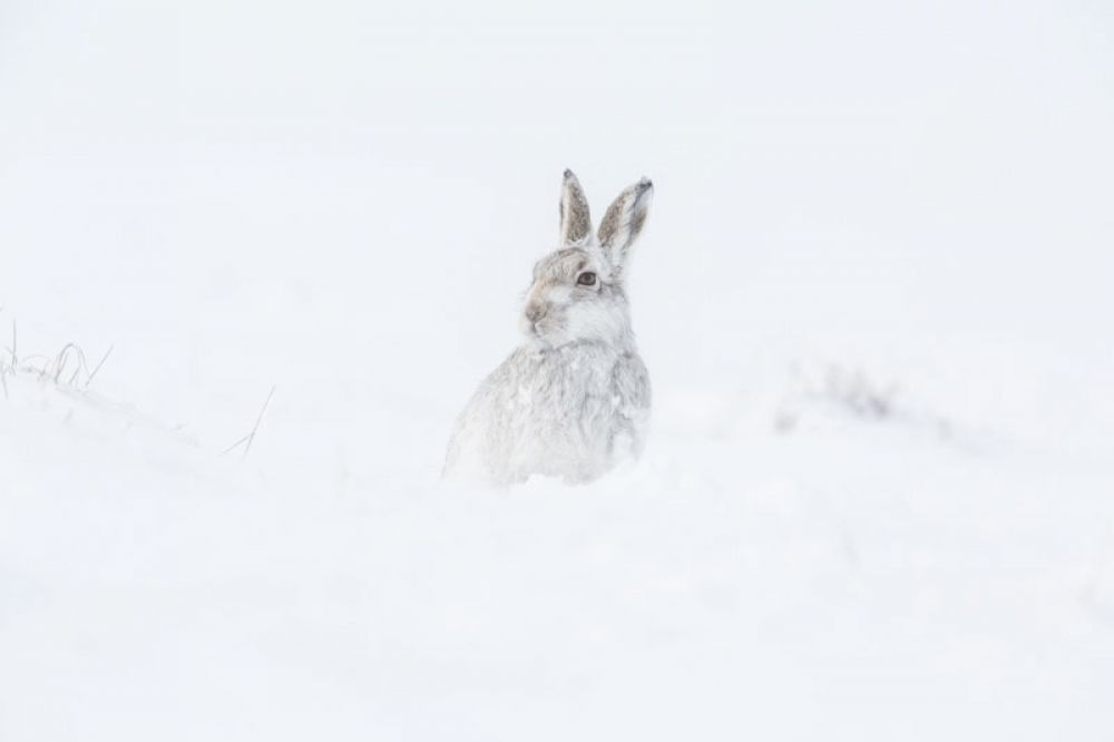 mountain-hare-two-feb-large.jpg