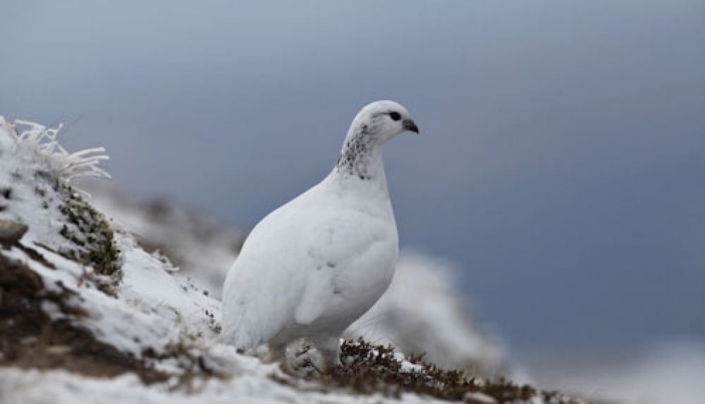 female-ptarmigan-large.jpg