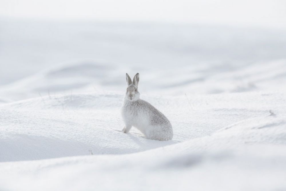 mountain-hare-five-feb-large.jpg