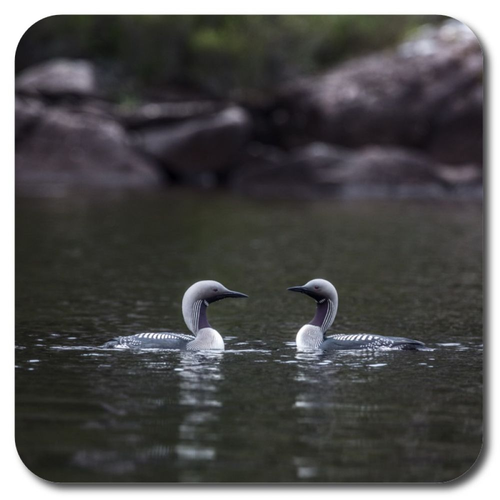 Black Throated Divers 2 10 x 10 MDF coaster for web.jpg