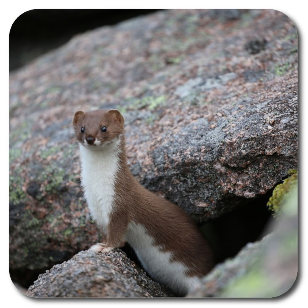 Stoat 1 10 x 10 MDF coaster for web.jpg