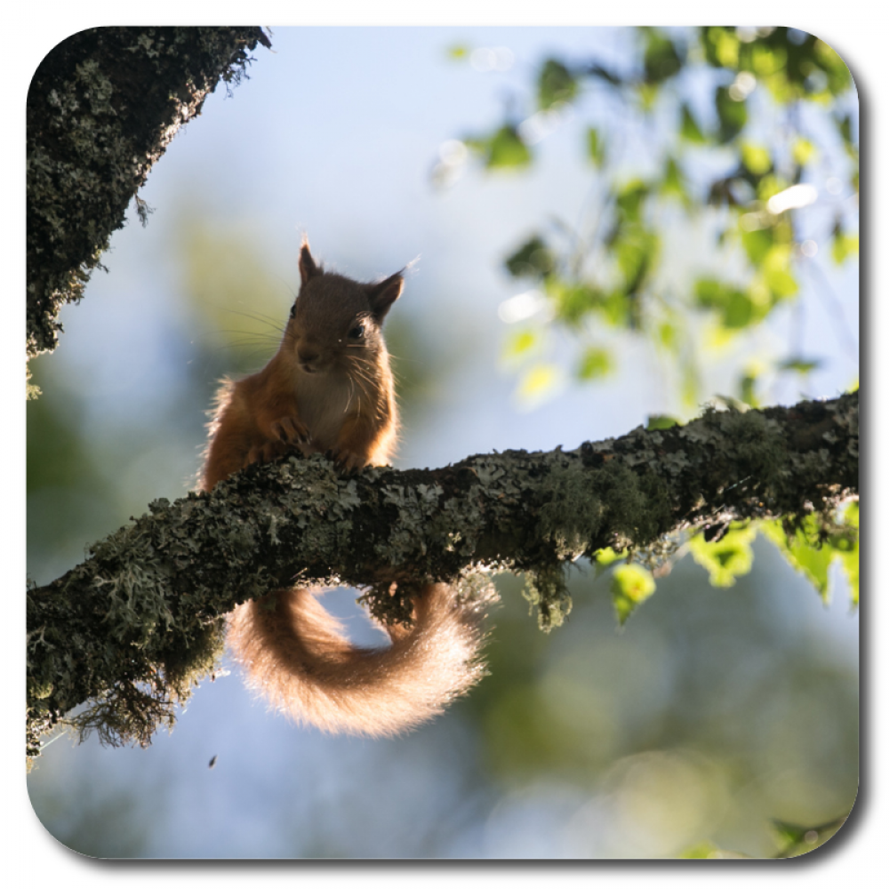 Red Squirrel 3 10 x 10 MDF coaster for web.png