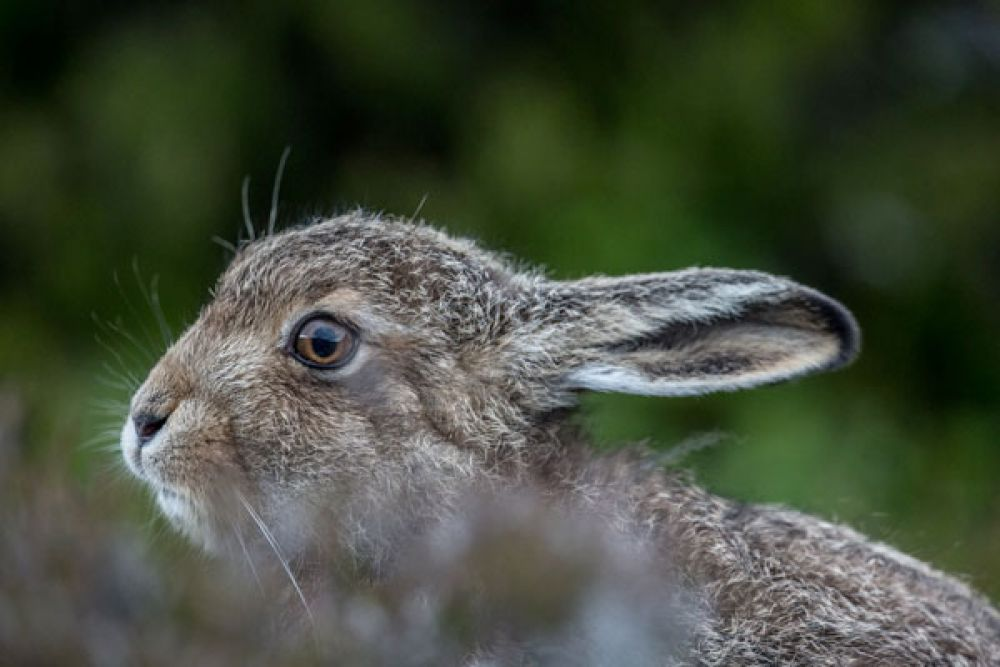 mountain-hare-leveret-two-large.jpg