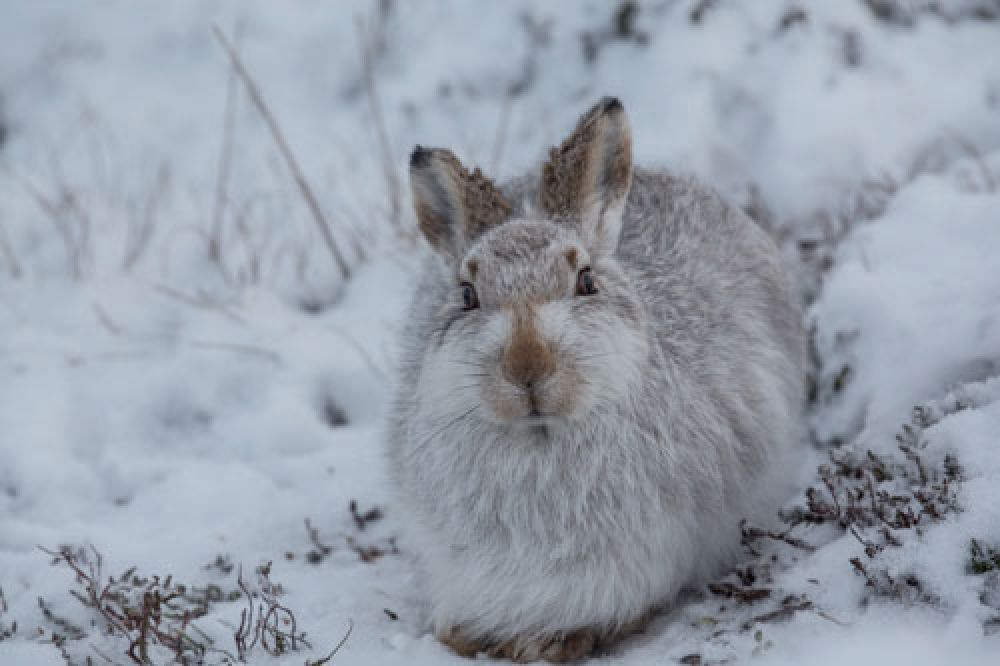 mountain-hare-resting-large.jpg