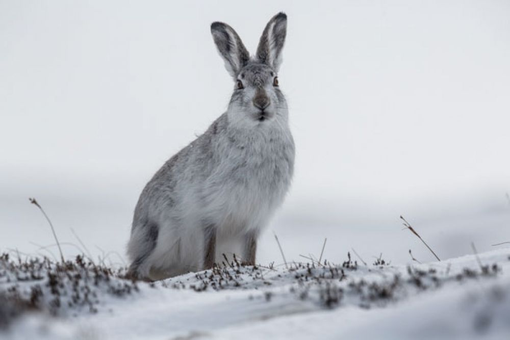 mountain-hare-posing-large.jpg